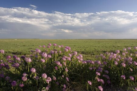 pawnee grassland:  purple wildflowers in Pawnee National Grassland in northern Colorado Stock Photo