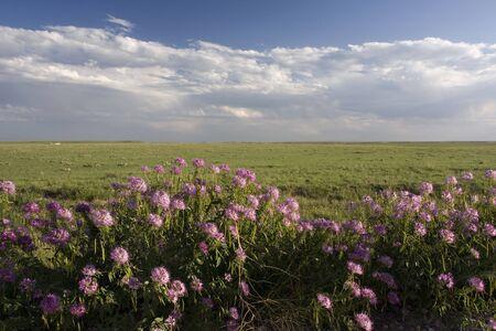 purple wildflowers in Pawnee National Grassland in northern Colorado Stock Photo - 3658315