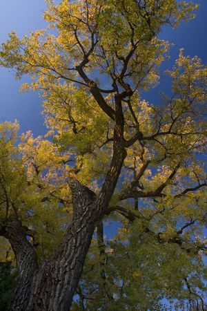 brak: giant cottonwood tree with golden leaves looking up against blue sky, light breeze
