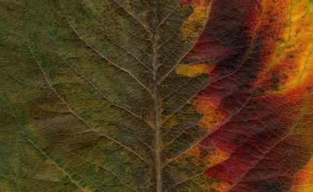 macro shot of asian pear tree leaf showing colors from green to yellow and red Stock Photo - 3781507