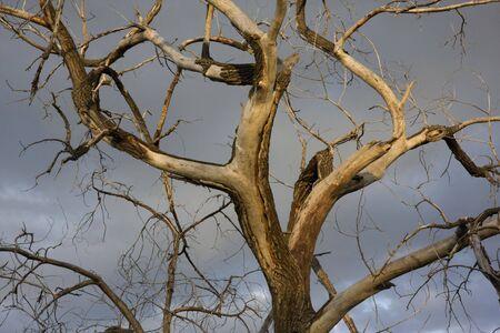 荒れ模様の空に対して千切れた樹皮を持つ死んだハコヤナギ