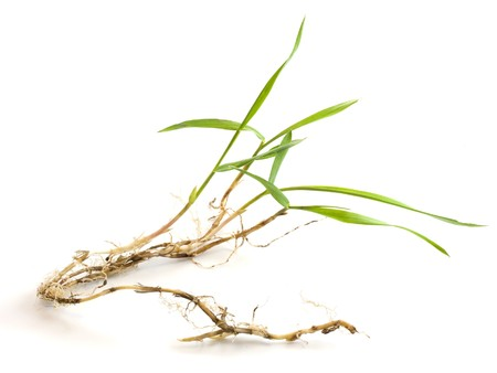a nice specimen of crabgrass with roots and new leaves on white background Stock Photo - 4311186