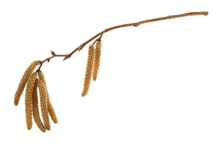 twig of hazelnut tree with flowers and buds in springtime isolated on white