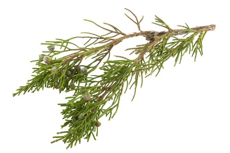 juniper: twig of evergreen juniper with old berries in springtime isolated on white