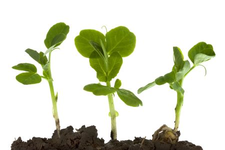 New life - three pea seeds germinating from a wet clay soil, isolated on white Stock Photo - 4804089