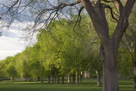 Alley with old American elm trees at the Oval of Colorado State University campus - landmark of Fort Collins Stock Photo - 4885780