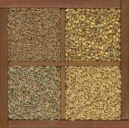 clockwise: 4 cereal grains in a rustic wooden box or drawer, clockwise from upper left - red hard winter wheat, barley, oats, rye