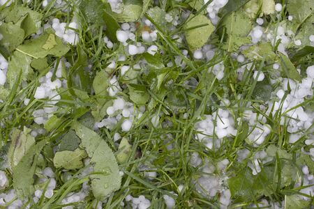 hail: pea size hailstones on grass and damaged tree leaves after hail storm
