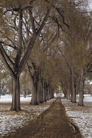 Alleey of old elm trees with broken branches after early winter storm - the historical Oval at Colorado State University campus, Fort Collins Stock Photo - 5844732