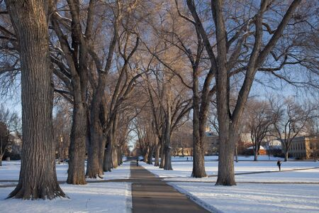collins: Alley of old elm trees - historical Oval at Colorado State University campus, Fort Collins, winter morning