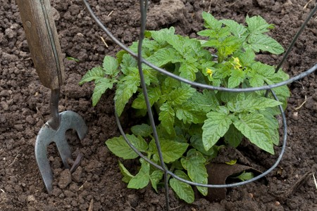 new tomato plant in wire supporting cage, gardening fork photo