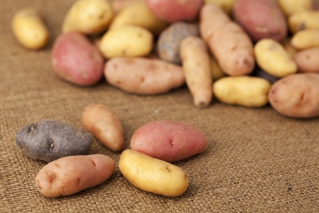 elongated: a variety of small, elongated fingerling potato organically grown in Colorado against burlap background, shallow depth of focus Stock Photo