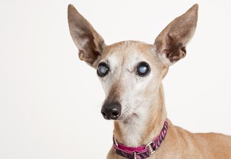 cataract: portrait of old blind dog, Italian Greyhound - eyes with cataract