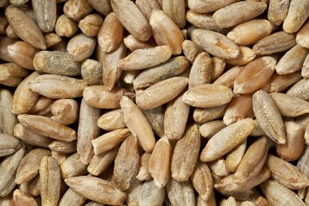 hulled rye berries at life-size magnification - background