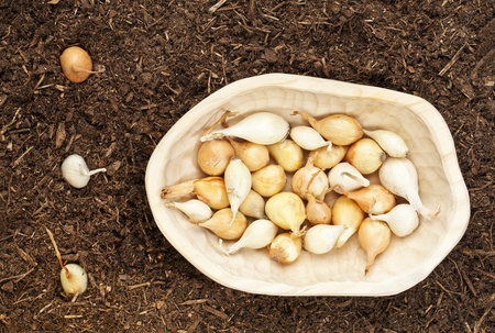 yellow and white onion for planting -  small bulbs in a  rustic wood bowl and some planted in garden soil Stock Photo - 12871370