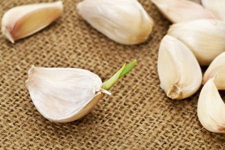 germinating: germinating garlic cloves on burlap fabric background