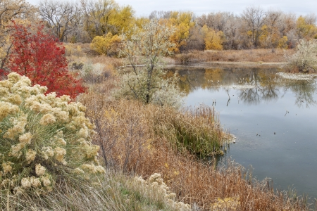 cottonwood  tree: gravel pit converted into natural area - Riverbend Ponds, Fort Collins, Colorado in late fall scenery with rabbitbrush and cattails Stock Photo
