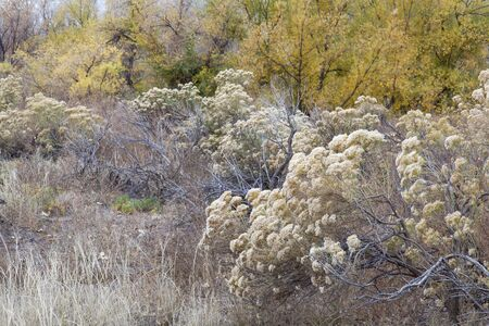 cottonwood  tree: rabbitbrush, dry grass and cottonwood along Cache la Poudre River in Fort Collins, Colorado, late fall scenery Stock Photo