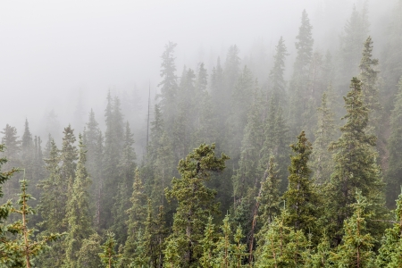 loveland: mountain spruce forest in fog, Rocky Mountains near Loveland Pass, Colorado