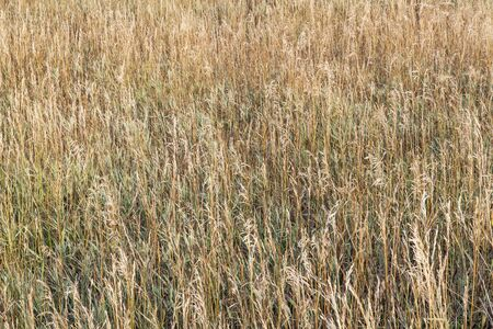 tall grass: background of dry tall grass in late summer in Colorado Stock Photo