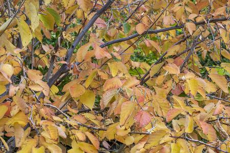 黄色と赤のヘーゼル ナッツの木秋の紅葉と冬の花