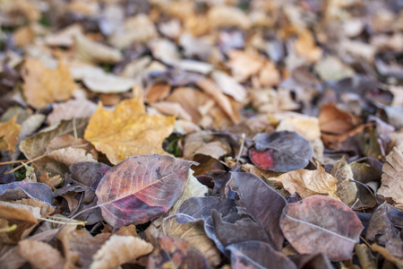 asian pear: texture background of fall leaves on the ground, mostly maple, asian pear and cottonwood tree - low angle view with a shallow depth of field