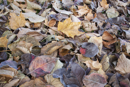 asian pear: texture background of fall leaves on the ground, mostly maple, asian pear and cottonwood tree - low angle view