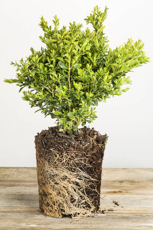 young plant of boxwood bush with exposed root ready for planting