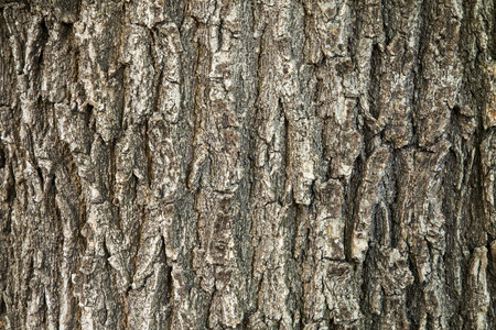 texture of an oak tree trunk with vertical bark patterns