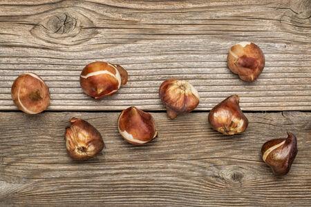 незавершенной тополь текстура древесины вертикальные узкие доски  реферат луковицы тюльпанов готовых для посадки в падении деревенский зернистый фон древесины photo