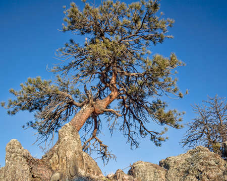 twisted pine tree in Rocky Mountains at Gateway Natural Area near Fort Collins, Colorado