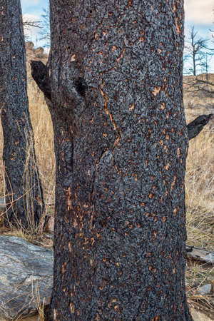 colorado rocky mountains: pine tree trunks damaged by recent wildfire in Rocky Mountains near Fort Collins, Colorado