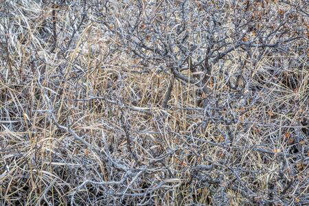 foothills: texture background of dry bush with grass in Colorado foothills Stock Photo
