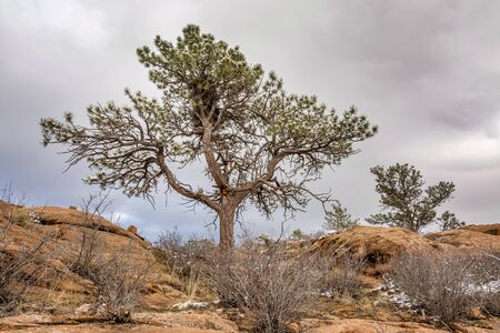 pine tree with magpie nest  on sandstome cliff, Lory State Park near Fort Coliins, Colorado, winter scenery photo