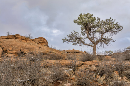 fort collins: pine tree with magpie nest  on sandstone cliff, Lory State Park near Fort Collins, Colorado, winter scenery