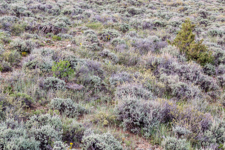 sagebrush: sagebrush, wildflowers and other shrubs - North Park of Colorado in early summer