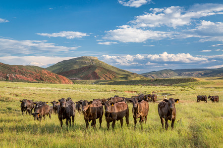 cattle grazing: Open range cattle grazing at foothills of Rocky Mountains in northern Colorado, summer scenery