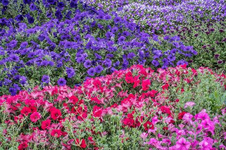 flowers garden: background of petunia flowers - different varieties  in a garden