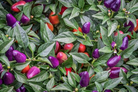 bush pepper: background of hot loco pepper plant in garden, loco is a compact multi branching Chili producing a heavy crop of  upright facing vivid purple peppers