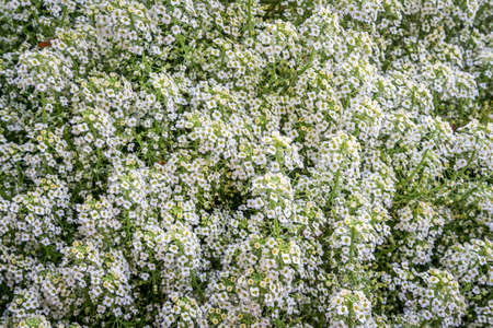 flowering plant: sweetness yellow lobularia in a garden - flowering plant background