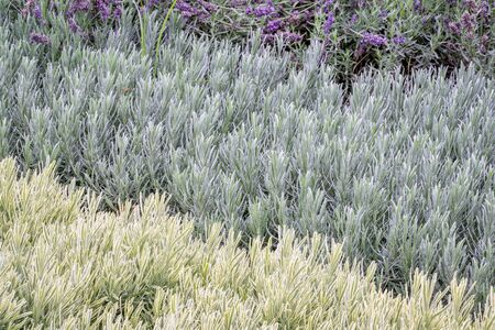 lavandula: lavandula (lavender) foliage and flowers background, flower bed with three plant varieties