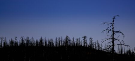 fort collins: mountain pine forest destroyed by wildfire at Greyrock near Fort Collins, Colorado - tree silhouette against night sky