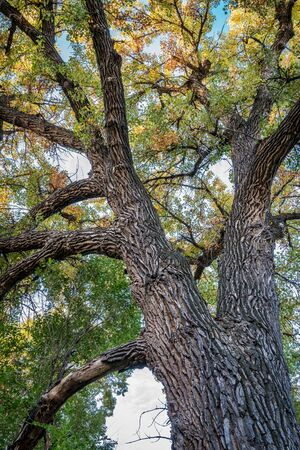 cottonwood tree: Giant cottonwood tree with fall foliage native to Colorado Plains, also the State tree of Wyoming, Nebraska, and Kansas - looking up