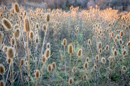 dry thistle field at sunset - a fall landscape with a selective focus