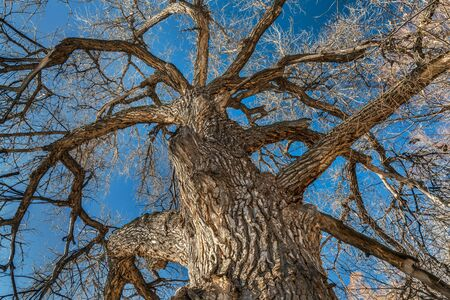 cottonwood tree: Giant cottonwood tree with without leaves native to Colorado Plains, also the State tree of Wyoming, Nebraska, and Kansas - looking up