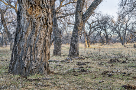 riparian forest along South Platte River in eastern Colorado, early spring scenery in sunset light Stock Photo