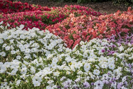 blooming  purple: background of petunia flowers - different white, red and pink varieties  in a garden Stock Photo