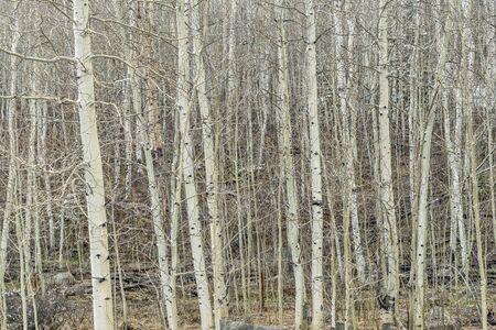 aspen grove in late winter or early spring, Rocky Mountains, Colorado