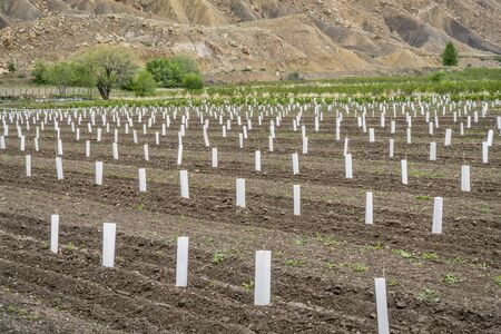 palisade: young peach tree orchard in Palisade, peach capital of Colorado