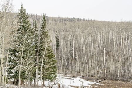 aspen grove: spruce and aspen grove in late winter or early spring, Rocky Mountains, Colorado